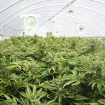 cannabis plants in a greenhouse