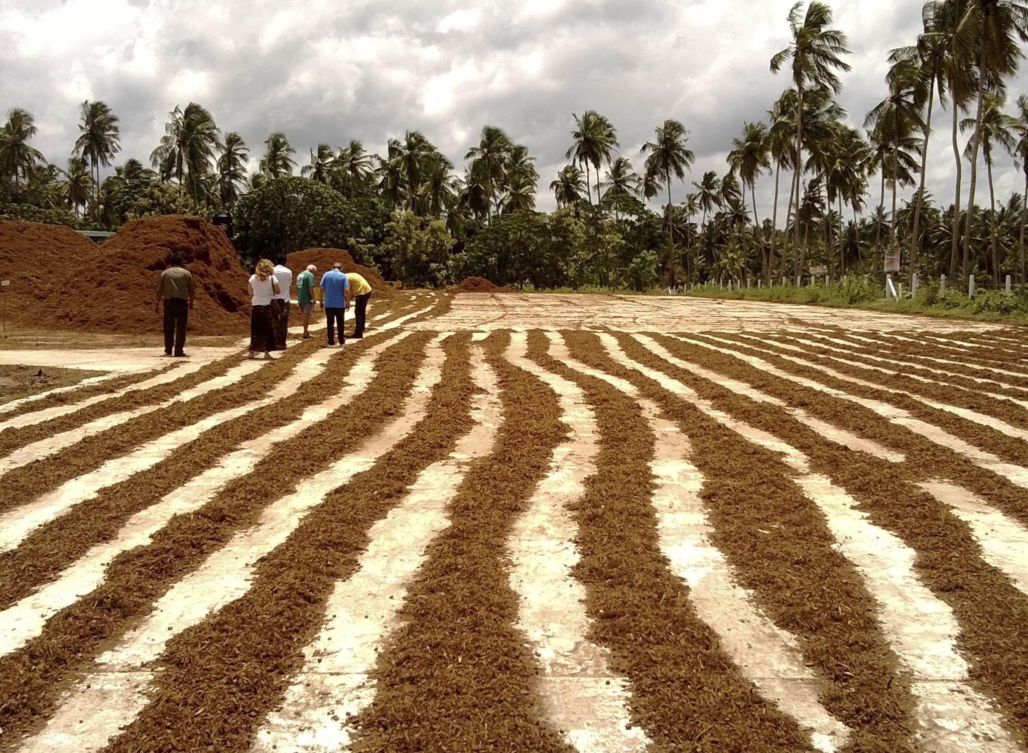 médula de coco en una plataforma de cemento durante el proceso de secado