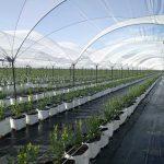 hydroponic-blueberry-coir-fiber