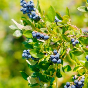 Soilless Blueberry Cultivation