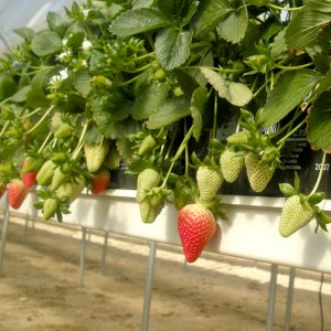 Soilless Strawberry Cultivation