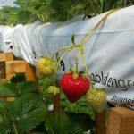 producción hidropónica fresas