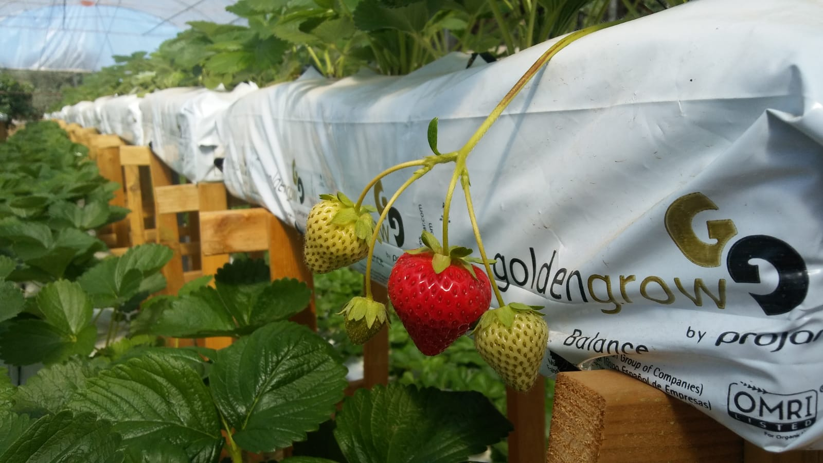 strawberry soilless production