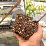 planta de arándano