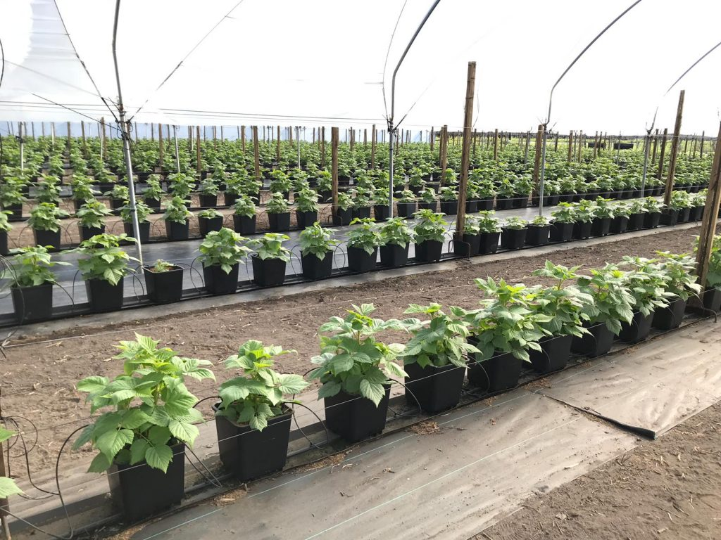 raspberry soilless production