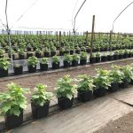 raspberry soilless production