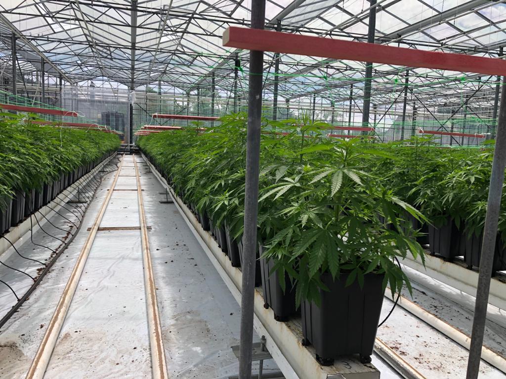 medicinal cannabis production